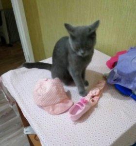 Кошка 2 года Британка