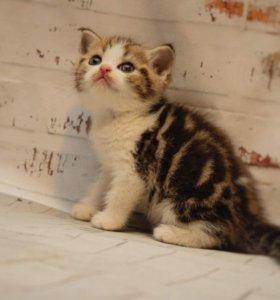 Шотландский мачо
