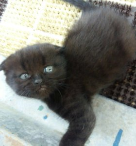 Вислоухий котёнок (мальчик)
