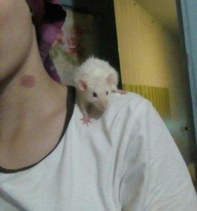 Крысы)