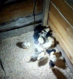 Курицы,петушки молодки