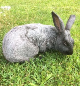 Племенной кролик 1 год
