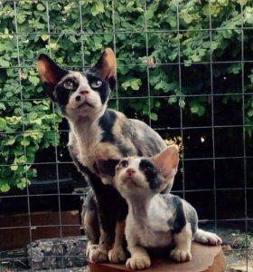 Котята девон-Рексы.