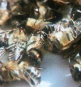 Мор пчёл (мертвые пчелы)