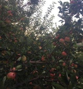 ‼️‼️Домашние яблоки 🍎Созрели самые сочные яблоки