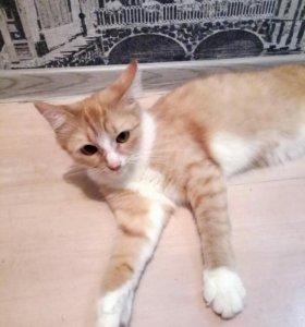 Кошка рыжая стерелизована 9мес