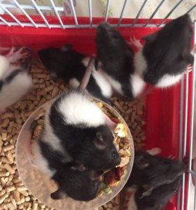 Крысята породы Дамбо