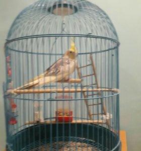 Попугай карелла 7 месяцев