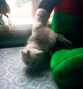 Котёнок 1,5 месяца девочка