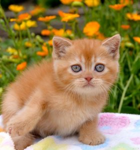 Кошка шотландская дорого