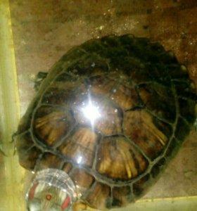 Срочно продам Черепаху красноухую