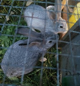 Кролик 2 мес.