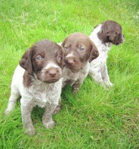 щенки охотничьей собаки дратхаар
