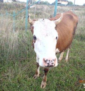 Корова ярославка вторая стельность