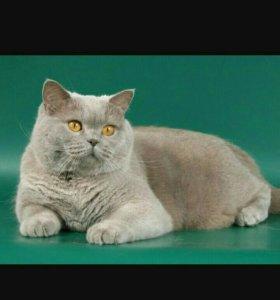 Британский котик. Вязка.
