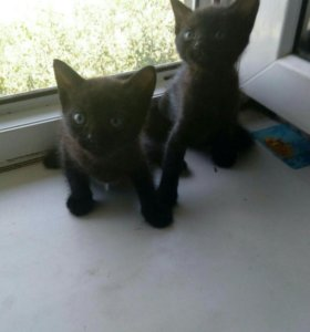 Два котика близница в добрые руки