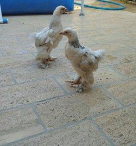 Колумбийские цыплята