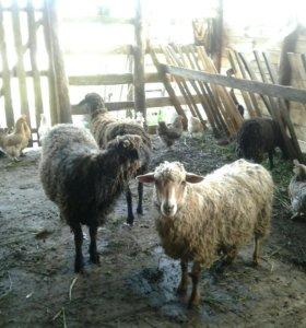 Баран/овцы