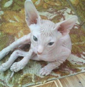 котята донской сфинкс 2 мес
