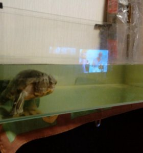 Красноухая черепаха + мадагаскарские тараканы
