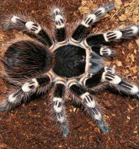 пауки птицееды acanthoscurria geniculata