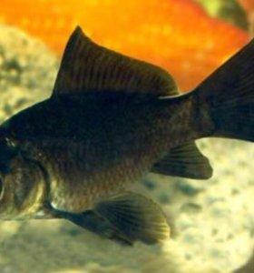 Рыбки 💫 Кометы