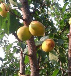 Продам саженцы абрикоса