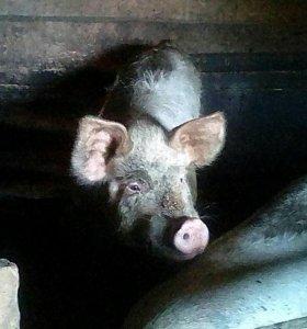 Свинья продам