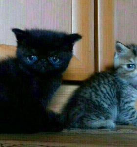Продаются котята ЭКЗОТЫ.