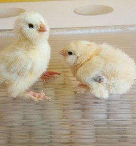 Цыплята породистых несушек