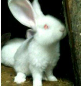Кролики Бельгийский Великан.