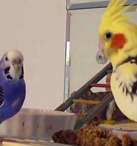 Домашний питомник попугаев.