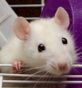 Крыски  ручные добрые, молодые.