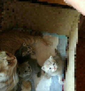 Вислоухие котики шотландцы+ кошечка(папа экзот)