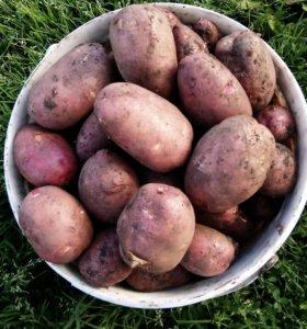Свежий картофель крупный