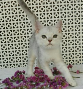 Котик шиншилла
