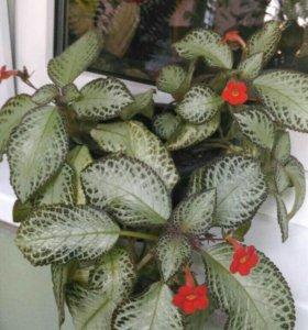 Цветок Эписция