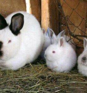Продам крольчат калифарнийской породы