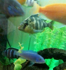 Аквариумная рыбка золотой леопард