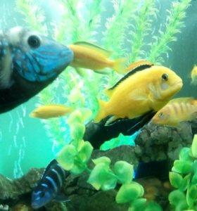 Еллоу аквариумная рыбка