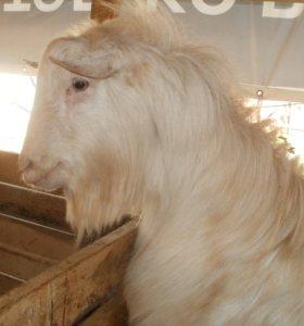 Козел с доставкой. Наш козлик покроет ваших коз