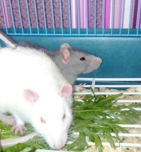 Отдам двух крыс