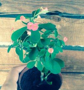 Цветок (отростки во временном кашпо)