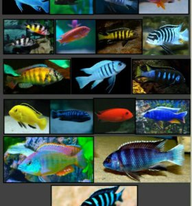 Аквариумные рыбы Африки