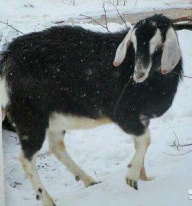 Нубийский козёл
