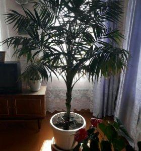 Большой цветок:пальма