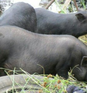 Свиньи на обмен
