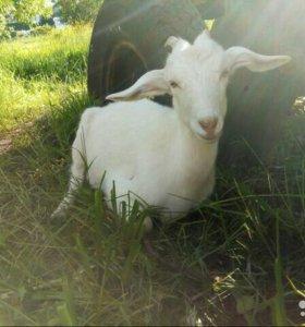 Нубийские процентные козы, козлы