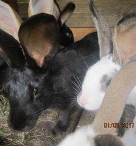 Кролики продам