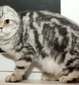 Вислоухий кот на вязку приглашает.